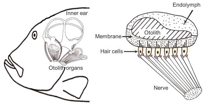 fish's hearing organs